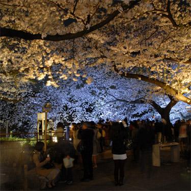 東京千鳥ヶ淵の夜桜ライトアップ事業